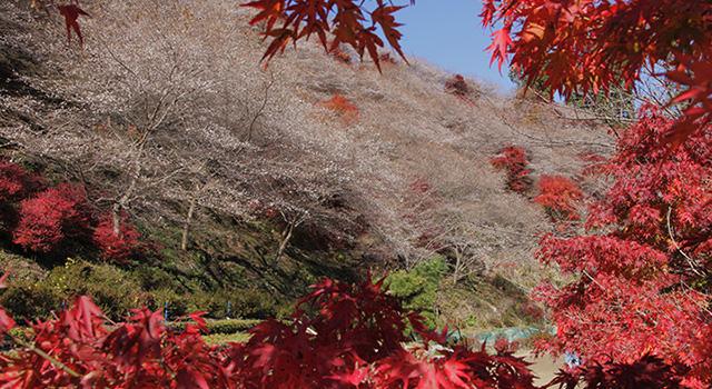 川見四季桜の里の四季桜ともみじ