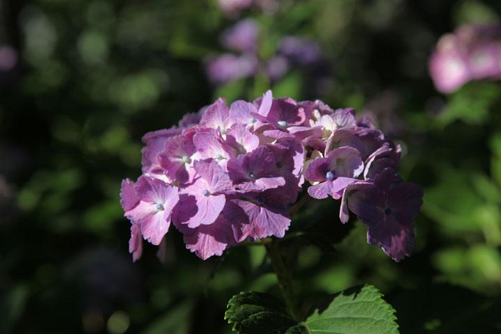 紫のあじさい