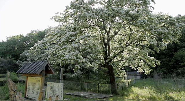 国天然記念物 ヒトツバタゴ自生地(犬山市)