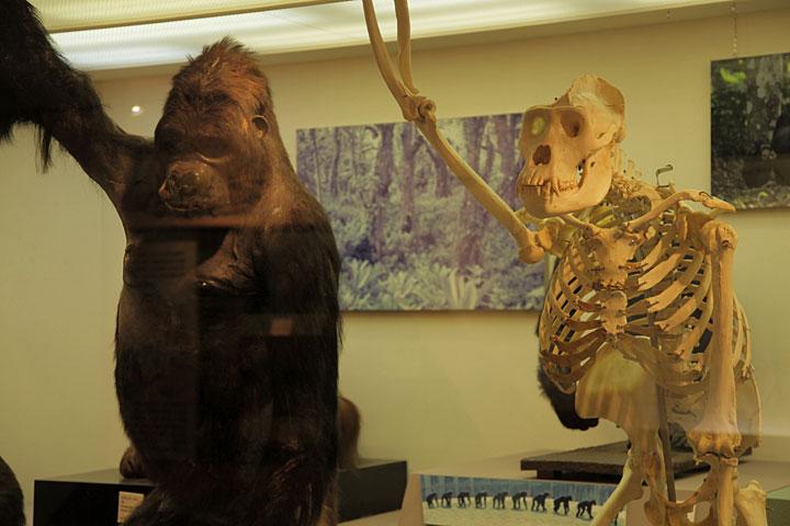 マウンテンゴリラの骨格と剥製