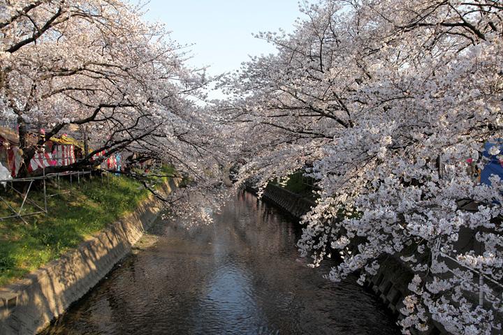 五条川桜まつり