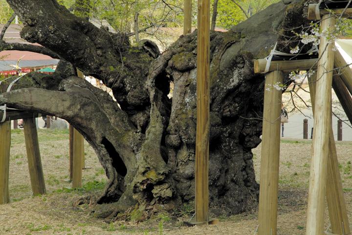 幹囲9.9mの薄墨桜の幹