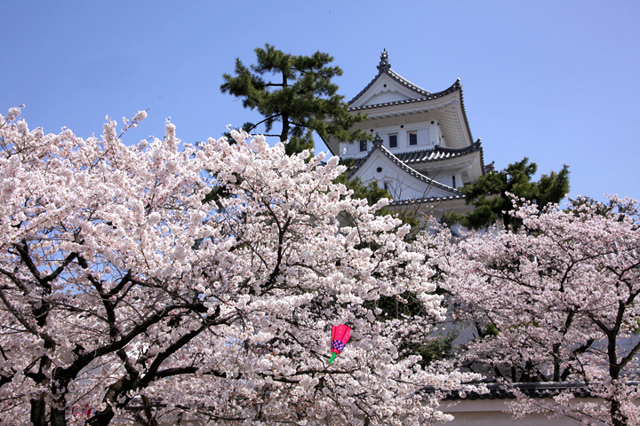 大垣城の桜